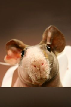 Skinny pig ?