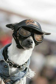 Dogs - #chihuahua #chihuahuatypes #chihuahuadogs