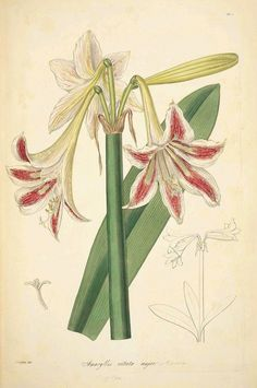 All sizes | Amaryllis vittata major | Flickr - Photo Sharing!