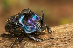 iridescent dung beetle - unfortunate name, but very cool looking bug!