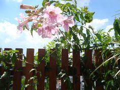 trepadeira sete-léguas (Podranea ricasoliana) - Assim como a tumbérgia-azul (Thunbergia grandiflora), tem desenvolvimento rápido, mas prefere baixas temperaturas.