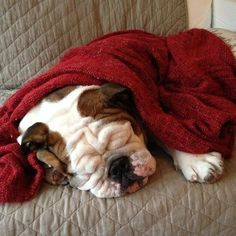 Bulldogs nap the best naps ever.
