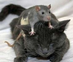 cat_mouse_13