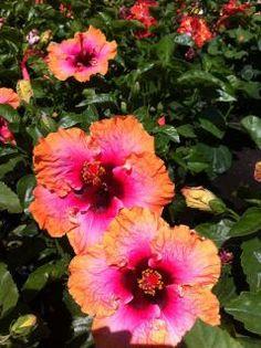 Hibiscus sinensis--Erin Rachel
