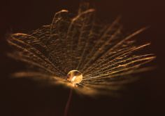 Golden drop #nature #photography