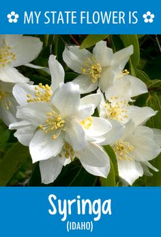 #Idaho's state flower is the Syringa. What's your state flower? http://pinterest.com/hometalk/hometalk-state-flowers/
