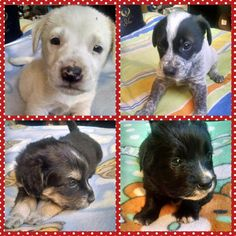 "GLOBAL OUTREACH THE DAVINCI FOUNDATION FOR ANIMALS RESCUE ACROSS THE NATION  ""@madi_tol: Hermosos cachorritos buscan hogar responsable en #Temuco me ayudas ? @kattykowaleczko """