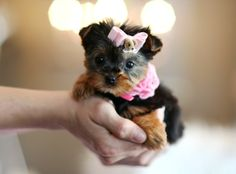 Teacup yorkie, they fit in your hand!