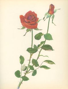 Vintage Rose Print, Independence, Botanical Flower (117) Natural History, Blossom Art, 1966, Kaplicka on Etsy, $14.58