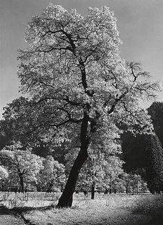 ADAMS, ANSEL (1902-1984) Oak Tree, Autumn 1936