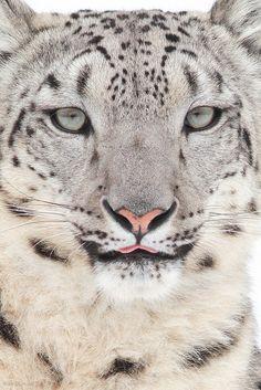 Snow Leopard @ Cincinnati Zoo & Botanical Garden