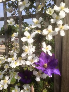 Clematis at Green End Farm