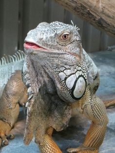 ADOPTED ! ABOUT GODZILLA 5-6 yr old iguana needs good home, had suffered from metabolic bone disease tho has now recovered & doing great. He's very nice - Center Valley Animal Rescue in Quilcene, WA