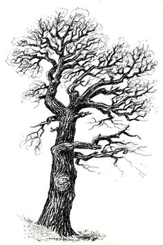 Old oak in Pilsen, West Bohemia, drawing by Jana Haasová