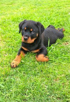 #Rotty #puppy