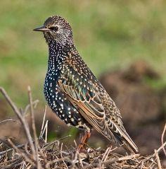 The beautiful starling...