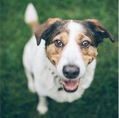 💚TOMAS💚 es lindo 😘juguetón🐾💓 y un súper coqueto 🤩 consentido😜 @tomas_y_mateo_criollos . Algunos perros criollos tienen las patas largas, otros poseen extremidades más cortas, pero todos tienen un extraordinario sentido de la orientación e inteligencia y pasan con mucha destreza los puentes peatonales. Corgi, Animals, Pedestrian Bridge, Bridges, Cute, Pets, Dogs, Corgis, Animales