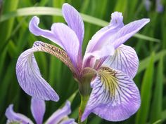 Iris, Flower, Floral, Blossom, Plant, Summer, Green  FREE