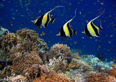 MOORISH IDOL reef fish - by michaelsheridanphotography