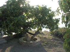 Enalion apartments-Limnos-fig tree Fig Tree, Apartments, Plants, Ficus, Ficus Tree, Flora, Plant, Penthouses, Flats