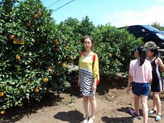 【济州岛之橘】