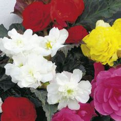 Begonia Plants - F1 Nonstop Mocca - All Flower Plants - Flower Plants - Gardening - Suttons Seeds and Plants