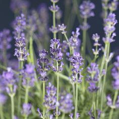 Flerårig, opprettvoksende halvbusk med en fantastisk sterk duft, grågrønt bladverk og blåfiolette blomster.  ...