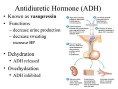 This is a complete slide show of the endocrine system. ADH decrease urine production, decrease sweating, and increases blood pressure. When overhydrated, ADH inhibits the release of fluid in your body but when dehydrated it stops producing. Nursing School Notes, Nursing Schools, Nursing Information, Nursing Tips, Ob Nursing, Nursing Scrubs, Diabetes Insipidus, Endocrine System, Endocrine Hormones
