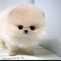 Such a cute teacup Pomeranian!
