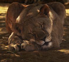 Unworried lionesse by Andreas Jansrud on Baby Lion Cubs, Tribe Of Judah, Parking Design, Predator, Eagles, Panther, Lions, Beast, Africa