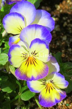Park Flowers   LORI MOORE