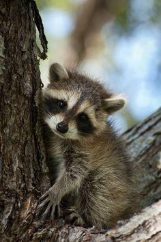 A cute little baby raccoon sitting in a tree