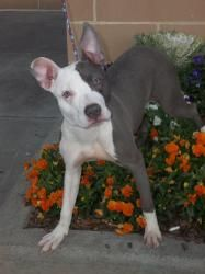 Shimmer: American Staffordshire Terrier, Dog; East Rutherford, NJ