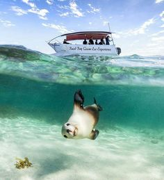 Hotels-live.com/cartes-virtuelles #MGWV #F4F #RT #worldbestshot Swimming with wild sealions on the Baird Bay Ocean Eco Experience. Pic by @robertlangphotography   FOLLOW @worldbestshot AND TAG YOUR BEST SHOTS #worldbestshot #worldbestshot_ig TO BE FEATURED. ____________________________________ by worldbestshot https://www.instagram.com/p/BGEgCzTtt_E/