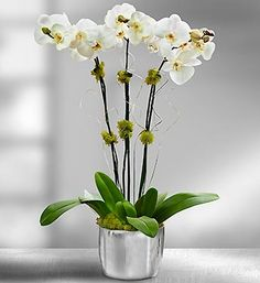 Silver Celebration Orchids  Sophisticated silver. This combination of white orchid and ceramic planter emphasizes its own essential architectural elements with noble beauty. To celebrate a special event or fete a fabulous friend, send as a gift or decorative accent in lavish style.