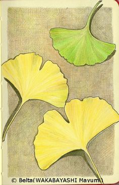 2013_12_10_ginkgo_leaves_01_s  I picked up the ginkgo leaves.  for this drawing I used: Faber castell polychromos Moleskine sketchbook  © Belta(WAKABAYASHI Mayumi)