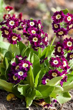 Flowers Y❤B <> Primula auricula (purple)