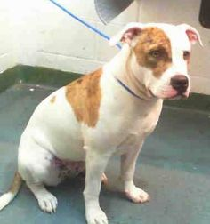ADOPTED!!!!! AMBER (A1676363) I am a female white and brown American Bulldog mix. The shelter staff think I am about 3 years old. I was found as a stray and I may be available for adoption on 02/04/2015. — hier: Miami Dade County Animal Services. https://www.facebook.com/urgentdogsofmiami/photos/pb.191859757515102.-2207520000.1422796484./919499524751118/?type=3&theater