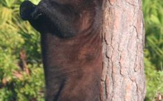 In a surprise move, the Florida Fish and Wildlife Conservation Commission voted 4-3 late Wednesday to hold off having a second bear hunt later this year.