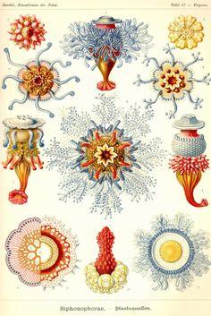 Siphonophorae No. 2, by Ernst Haeckel