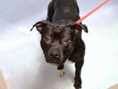 02/20/16-♡ MY LIFE MATTERS ♡ EBONY – A1062027 FEMALE, BLACK / WHITE, AM PIT BULL TER MIX, 1 yr STRAY – STRAY WAIT, NO HOLD Reason STRAY Intake condition EXAM REQ Intake Date 01/02/2016, From NY 11207, DueOut Date 01/05/2016,