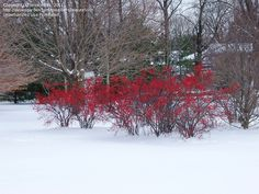 Bush: Winterberry holly. 6-12 ft. tall. Blooms late spring and produces bright red berries in the winter (attracting birds). Plant in full sun.