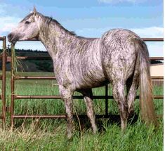 Brindle horse || This is often caused by chimerism but there may be inheritable forms of brindle.