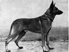 Jung Tell, German Police dog 1911