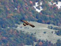 Parco Nazionale d'Abruzzo Lazio e Molise   Natura   Fauna   Aquila reale