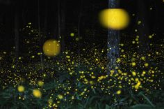 Time lapse picture of fireflies
