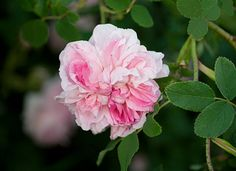'Blush Hip' Alba rose n. 1840