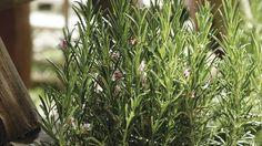 Rozmarín: Aromatická bylinka, ktorá láka včely a motýle