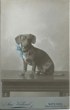 c.1900 cabinet card of dachshund with hand-tinted blue bow. Photo by Aug. Kühnel, Wien (Vienna, Austria).