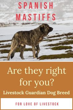 The Spanish Mastiff's domineering size and intimidating bark are often enough to deter predators. This livestock guardian dog (LGD) breed will fight bravely and ferociously if necessary. Read more to see if this breed is right for you and your family! #spanishmastiffs #livestockguardiandog #LGD Large Animals, Animals And Pets, Spanish Mastiff, Raising Farm Animals, Mastiff Puppies, Farm Dogs, Tibetan Mastiff, Anatolian Shepherd, Great Pyrenees